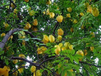 Penyakit arthritis » pohon belimbing